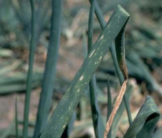 Botrytis ou pourriture grise