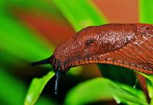 Limaces et escargots: des nuisibles du potager