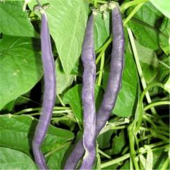 Haricot Mangetout Cosse Violette