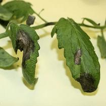 Mildiou sur les feuilles