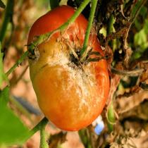 Mildiou sur le fruit