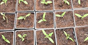 Plants repiqués en godet individuellement