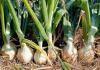 Oignons et récoltes