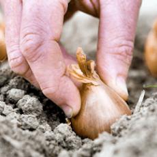 Planter les échalotes