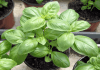 plant de basilic