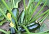 Courgettes du potager