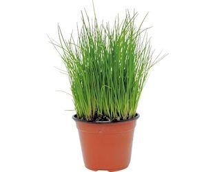 La ciboulette, une plante aromatique facile à cultiver ...