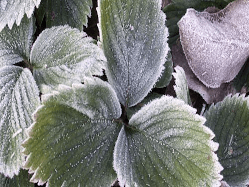 plant gelé