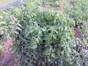 Cage à tomates