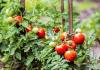 Plants de tomates du potager