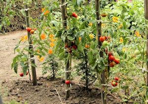 Plants de tomates et tuteurs
