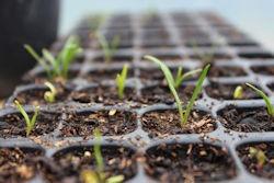 Semis d'épinard sur plaque