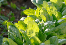 épinards du potager
